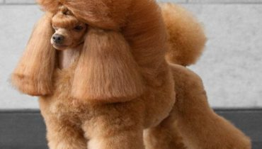 poodle-haircuts